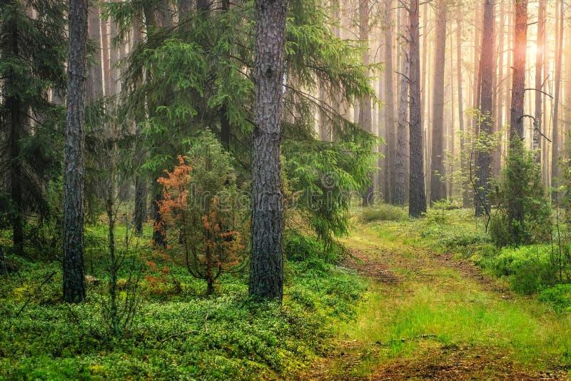 Paisagem verde da floresta do verão na manhã no nascer do sol Lig de Sun fotos de stock royalty free