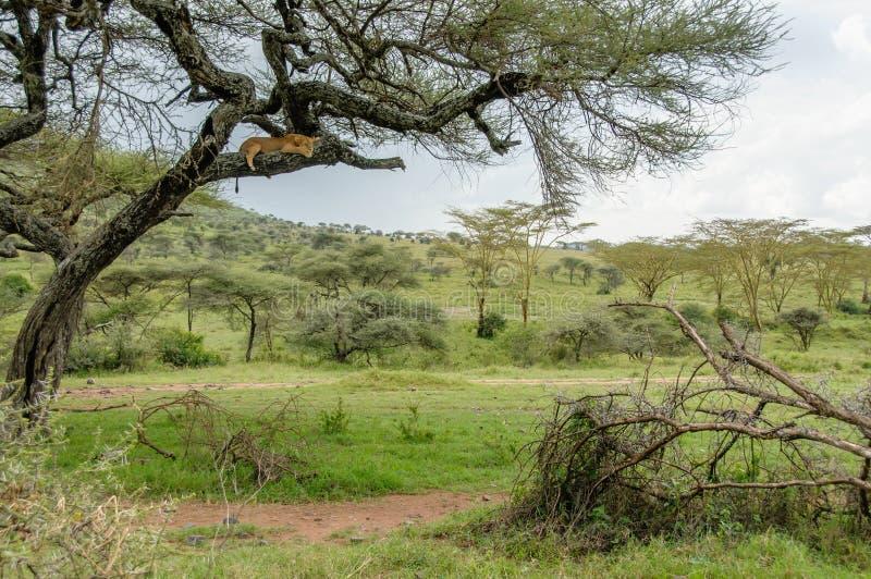 Paisagens africanas - parque nacional Tanzânia de Serengeti fotografia de stock royalty free