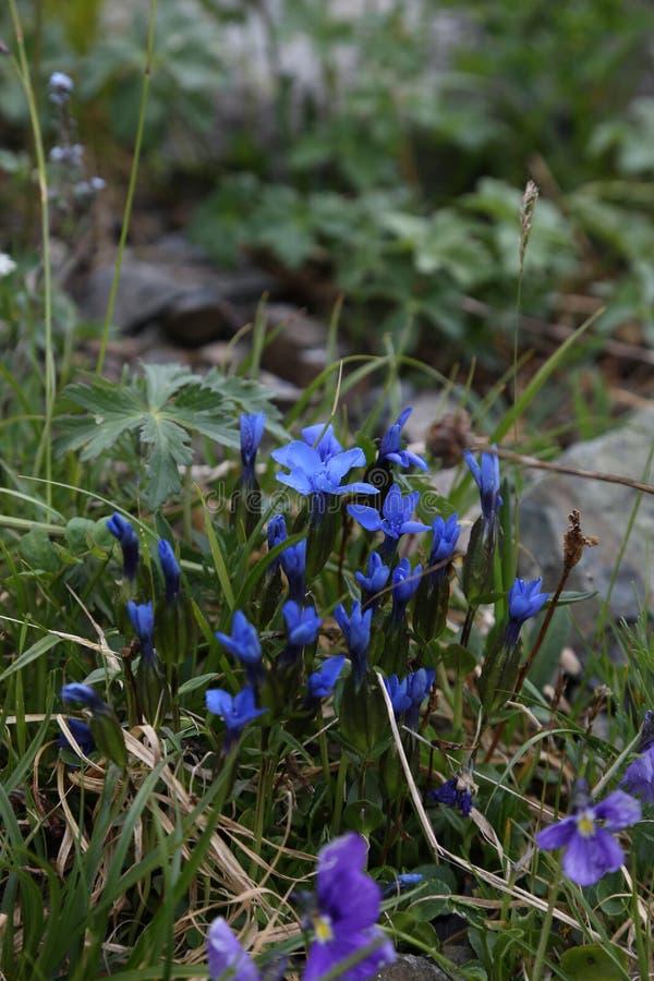 Paisagens da montanha de Rússia da região de Altai das flores fotografia de stock royalty free