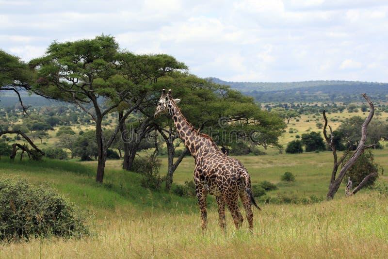 Paisaje africano con la jirafa imagen de archivo
