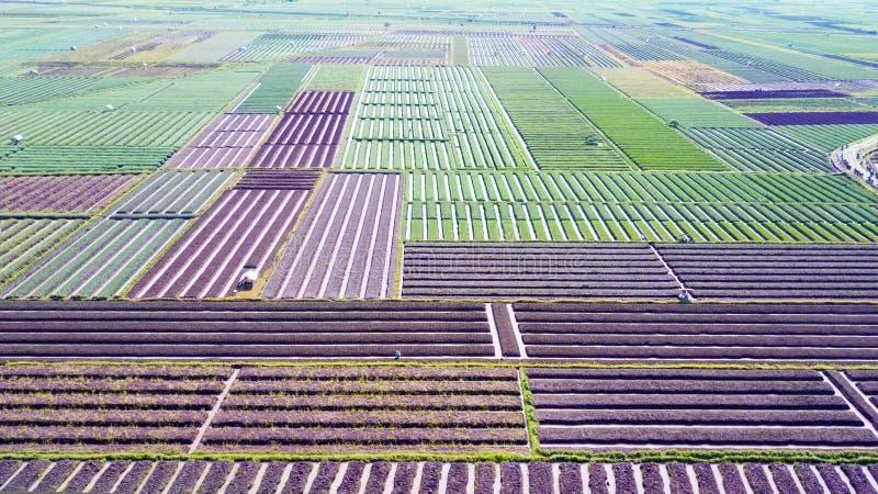 Paisaje agrícola del campo de la cebolla roja imágenes de archivo libres de regalías