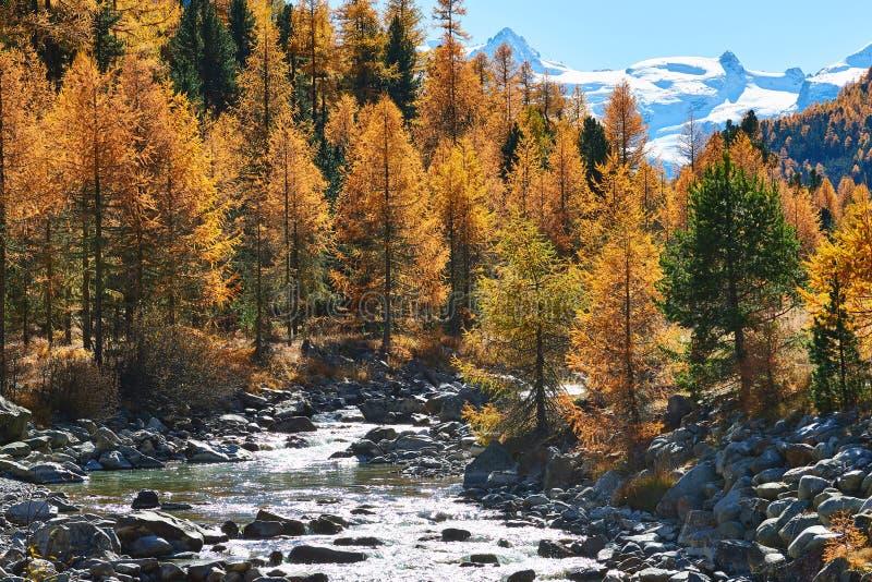 Paisaje alpino hermoso del otoño con los alerces y los árboles imagen de archivo libre de regalías