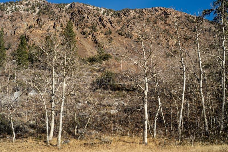 Paisaje blanco de la montaña del otoño de los troncos de árbol de corteza de los árboles de Aspen imágenes de archivo libres de regalías