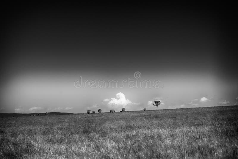 Paisaje blanco y negro con una familia de elefantes en el hori imagen de archivo libre de regalías