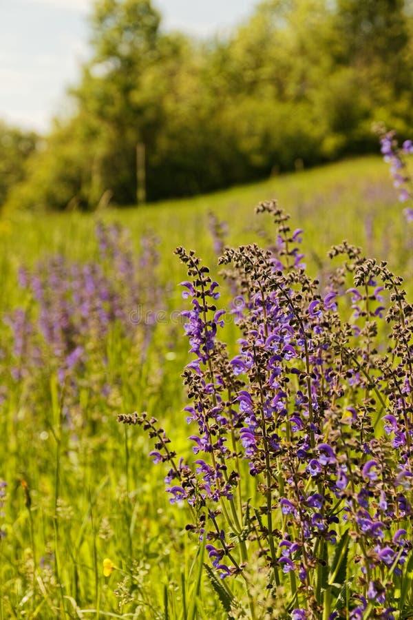 Paisaje cerca de Erfurt con las flores sabias del prado fotos de archivo