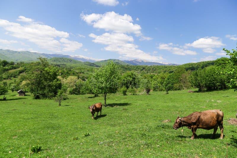 Paisaje con dos vacas que viven libremente en un paisaje hermoso imágenes de archivo libres de regalías