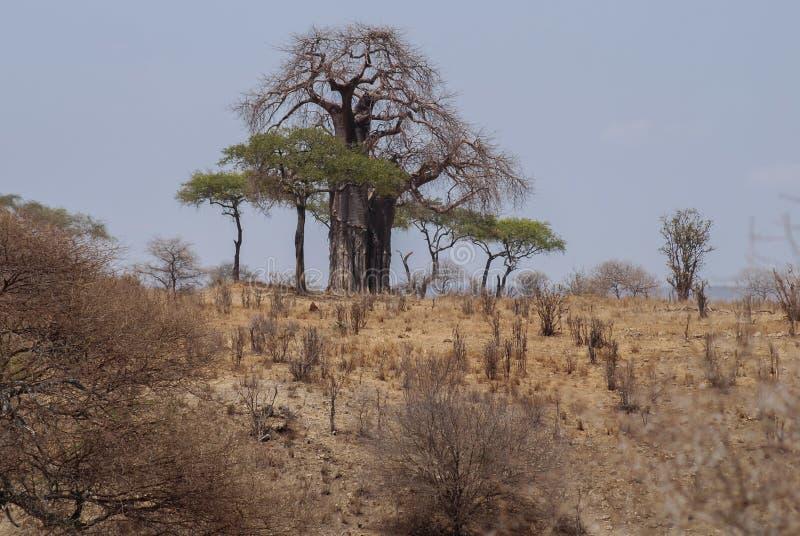 Paisaje con el árbol del baobab en la sabana del parque nacional de Tarangire en Tanzania, África fotos de archivo