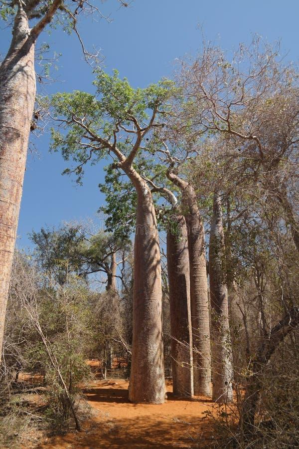 Paisaje con el árbol del baobab del grandidieri del Adansonia en el parque nacional de Reniala, Toliara, Madagascar imágenes de archivo libres de regalías