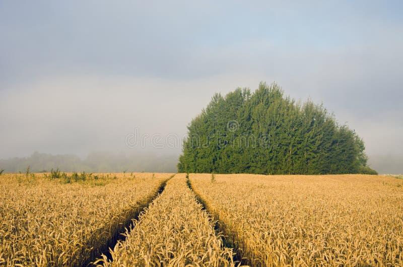 Paisaje con el campo de trigo y la niebla de la mañana fotos de archivo libres de regalías
