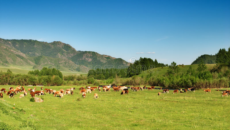 Paisaje con el pasto de vacas imagen de archivo libre de regalías