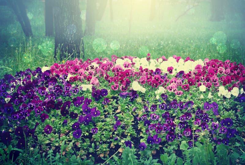 Paisaje con las flores, macizo de flores de los pensamientos fotos de archivo