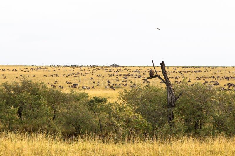 Paisaje con las manadas grandes Gran migración Kenia, África imagen de archivo