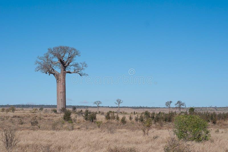 Paisaje con los árboles del boabab en Madagascar imágenes de archivo libres de regalías
