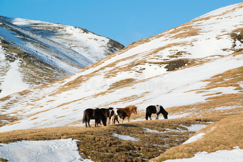 Paisaje con los caballos islandeses en las montañas, Islandia del invierno fotos de archivo