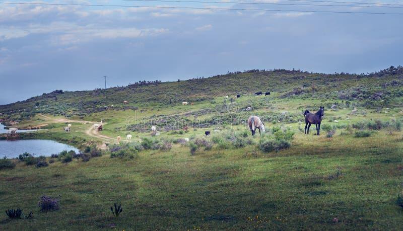 Paisaje con los caballos salvajes en el campo verde de la primavera en el pasto de Extremadura fotografía de archivo