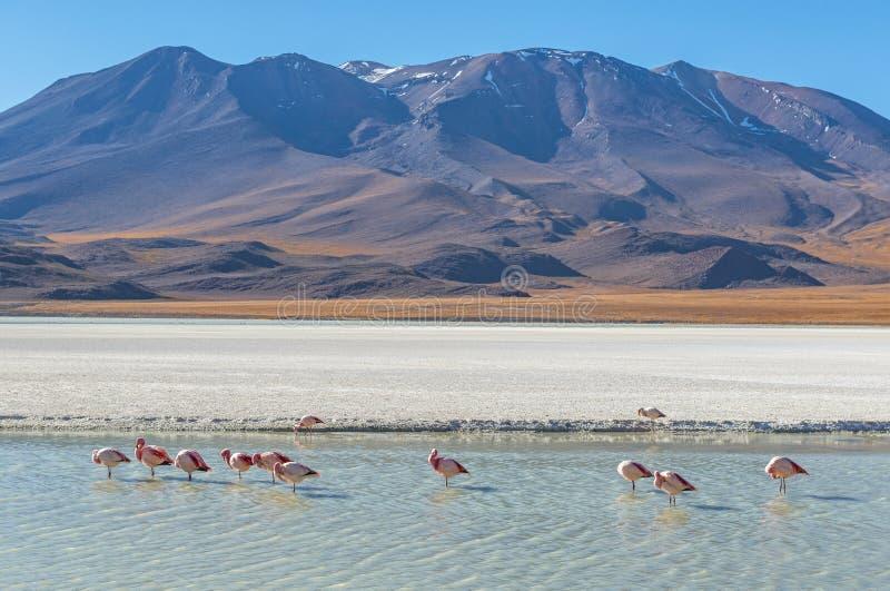 Paisaje con los flamencos, Bolivia de la laguna de Canapa foto de archivo