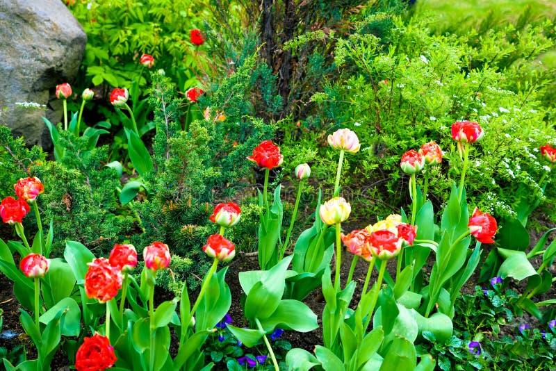Paisaje con los tulipanes rojos, hierba verde del jardín de la primavera Jard?n floreciente de la primavera Foto de los tulipanes imágenes de archivo libres de regalías