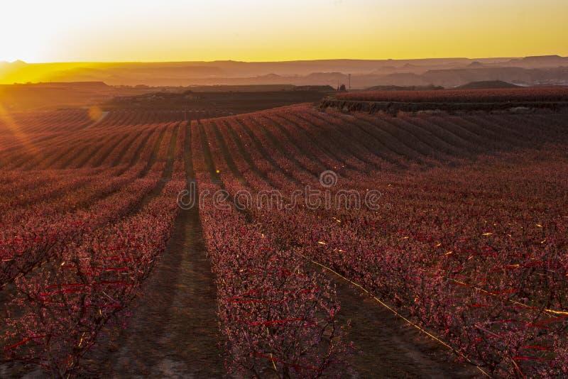 Paisaje de Aitona en la puesta del sol Vista que sorprende del campos grandes de los árboles de melocotón en la floración en la p imágenes de archivo libres de regalías