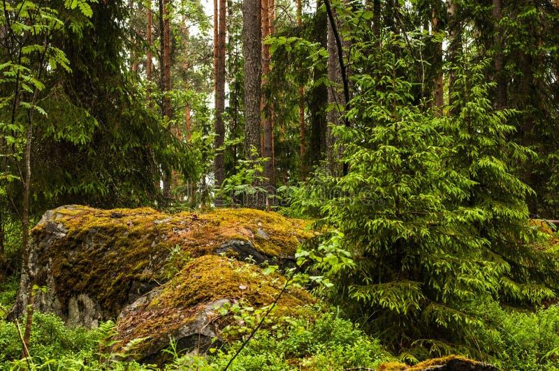 Paisaje de bosques septentrionales con los cantos rodados demasiado grandes para su edad con el musgo imágenes de archivo libres de regalías