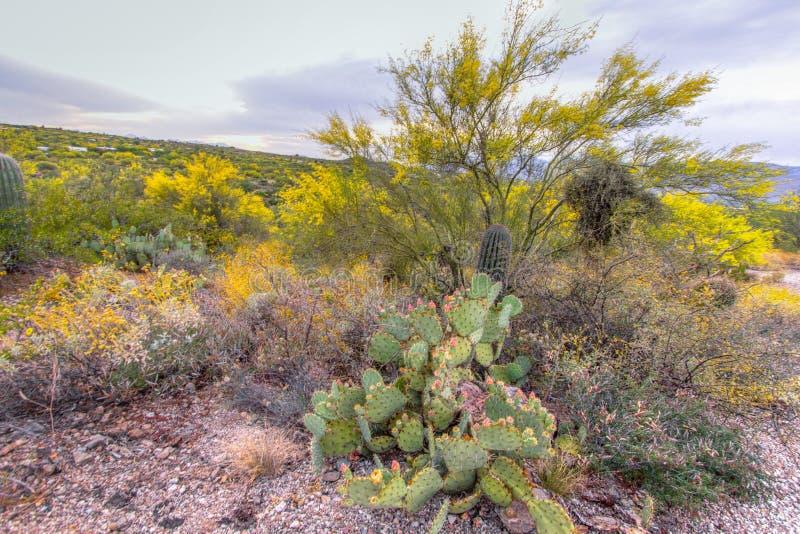 Paisaje de flores silvestres del desierto de Arizona fotografía de archivo