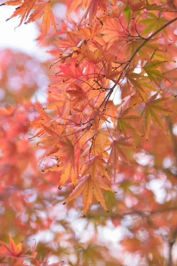 Paisaje de hojas de arce japonesas coloreadas vibrantes con el fondo borroso fotos de archivo