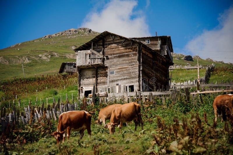 Paisaje de la casa de madera viva en el pie de la colina verde en el primero plano de vacas marrones imagen de archivo