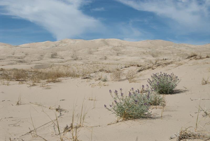 Paisaje de la duna del desierto con las flores p?rpuras foto de archivo libre de regalías