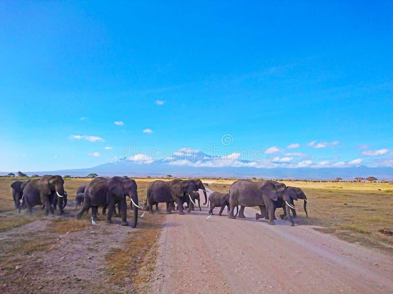 Paisaje de la fauna del elefante con el Mt kilimanjaro imagenes de archivo