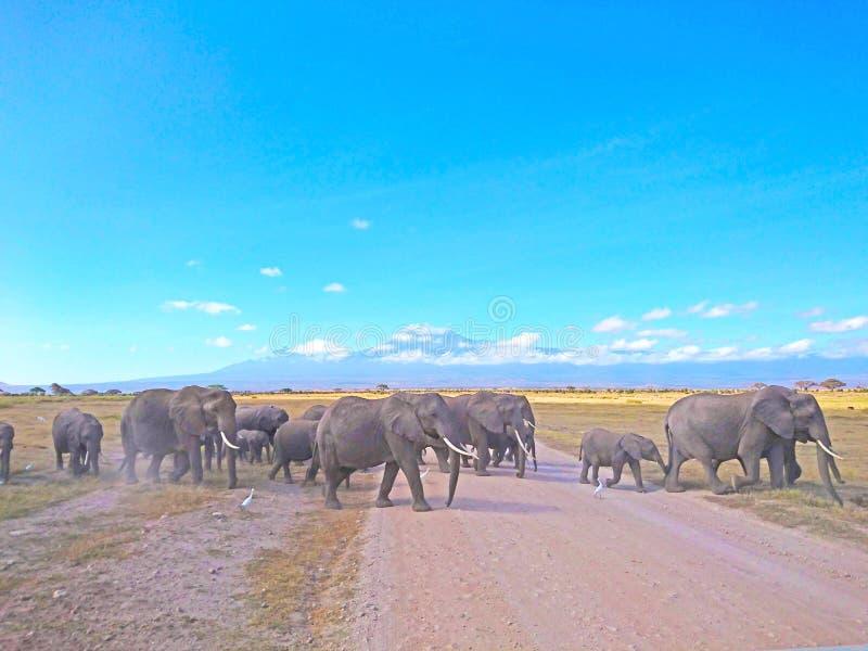 Paisaje de la fauna del elefante con el Mt kilimanjaro fotos de archivo