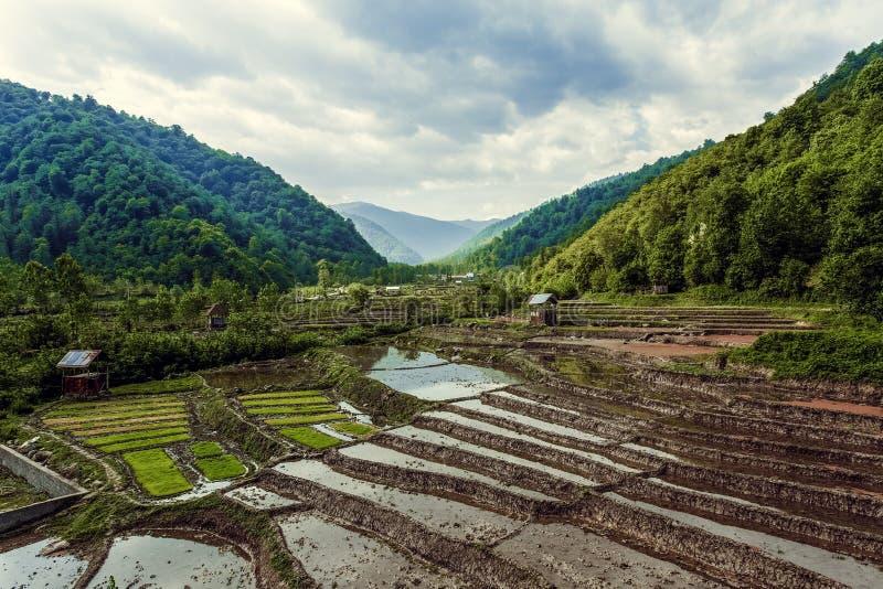 Paisaje de la granja del arroz en Irán fotografía de archivo