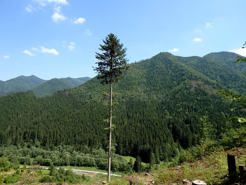 Paisaje de la montaña del verano con el árbol de abeto grande fotografía de archivo libre de regalías