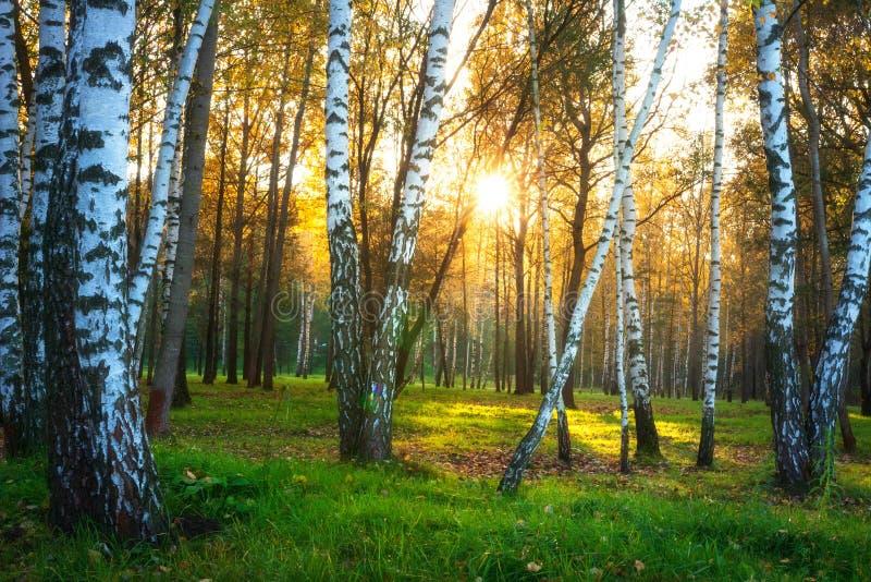 Paisaje de la naturaleza del oto?o ?rboles de abedul del bosque del oto?o en luz del sol Tarde soleada en bosque del abedul fotografía de archivo libre de regalías