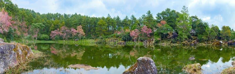 Paisaje de la opinión del panorama flor de los cerasoides Himalayan salvajes de la cereza o del Prunus en el lago en Chiang Mai fotografía de archivo libre de regalías