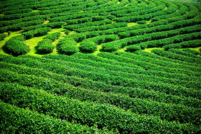 Paisaje de la plantación de té verde, textura del fondo de las hojas foto de archivo libre de regalías