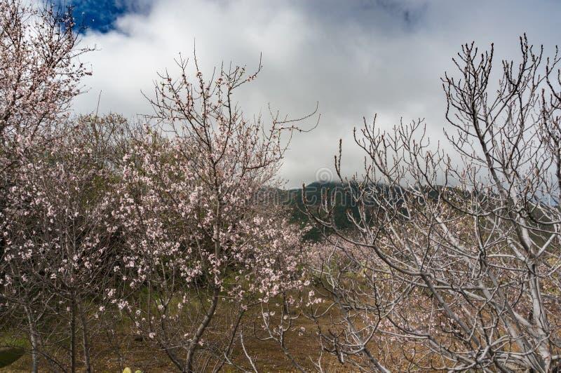 Paisaje de la primavera con los árboles de almendra en la floración imagen de archivo