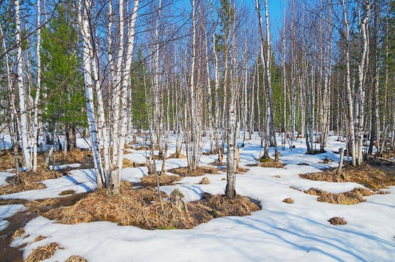 Paisaje de la primavera en la madera de abedul fotografía de archivo