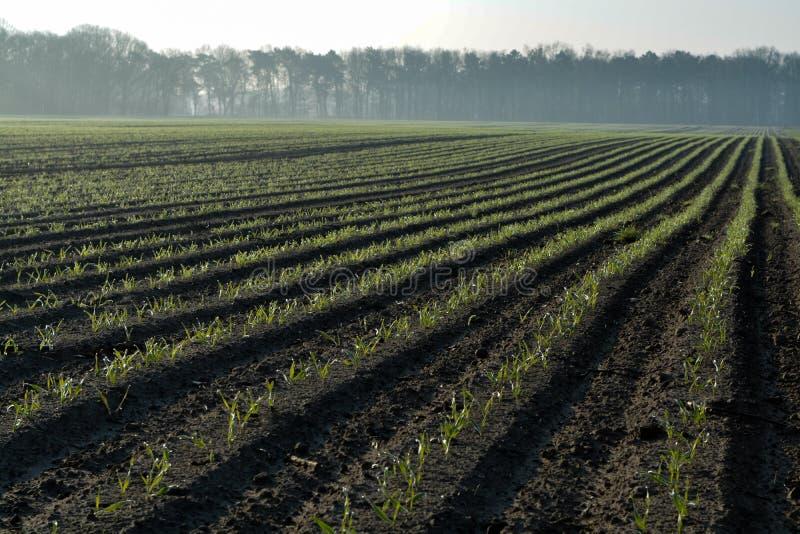 Paisaje de la primavera de la mañana con el campo nuevamente arado con los sprounts jovenes del maíz, tierras de labrantío en Paí fotografía de archivo libre de regalías