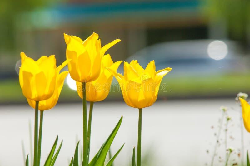 Paisaje de la primavera, tulipanes en un macizo de flores de la ciudad Tulipán en th fotografía de archivo libre de regalías