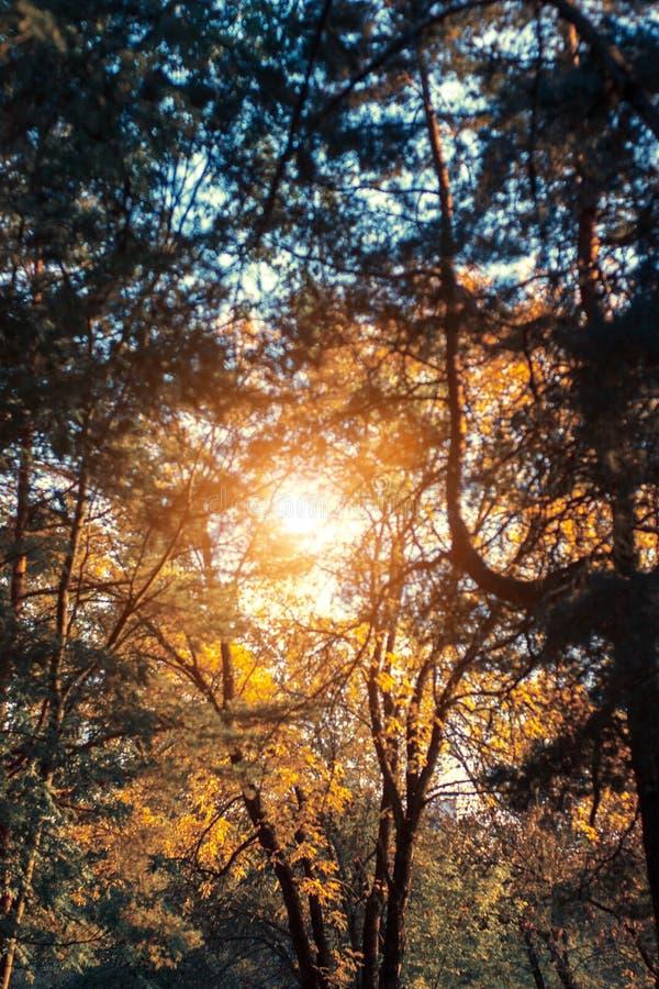 Paisaje de la puesta del sol del otoño con los árboles amarillos y verdes Pinos verdes del wirh del parque de la caída y cenizas  imagen de archivo