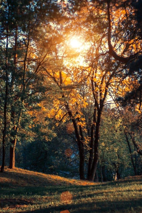 Paisaje de la puesta del sol del otoño con los árboles amarillos y verdes Pinos verdes del wirh del parque de la caída y cenizas  fotografía de archivo libre de regalías