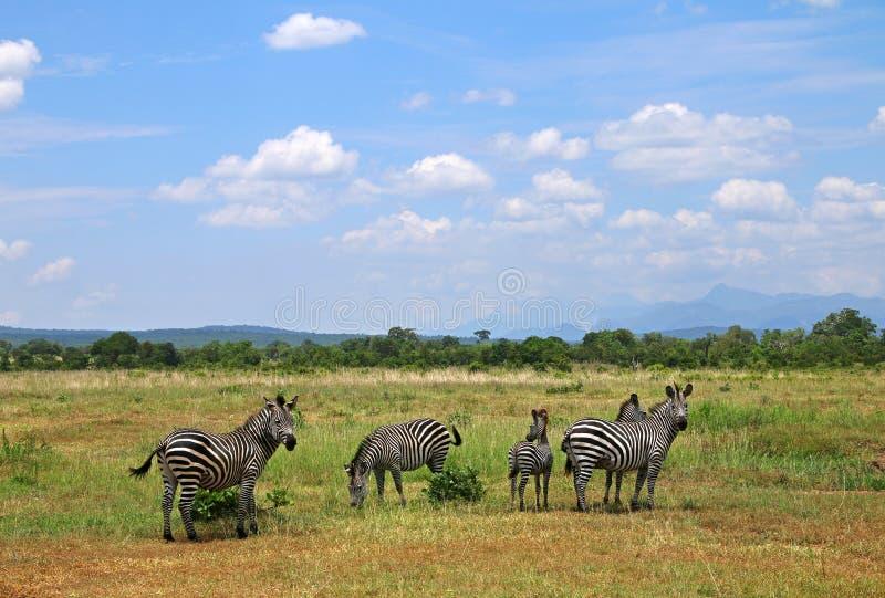 Paisaje de la sabana del parque nacional de África con las cebras imagenes de archivo
