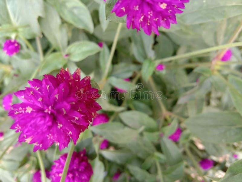 Paisaje de las flores rosadas hermosas del botón fotos de archivo