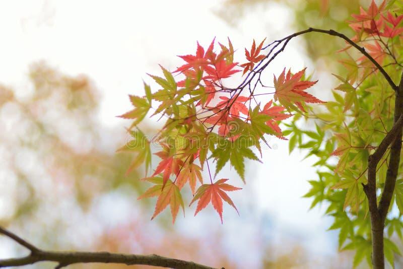 Paisaje de las hojas de arce japonesas cambiantes del color con el fondo borroso fotografía de archivo