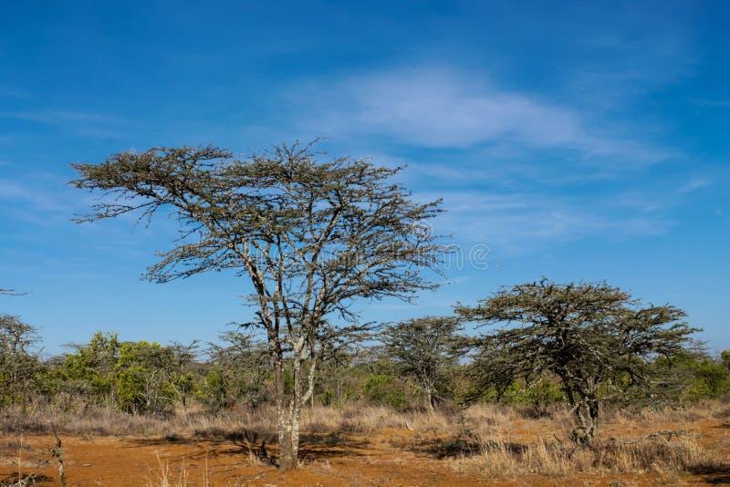 Paisaje de los árboles en arbusto de la sabana de África imagenes de archivo