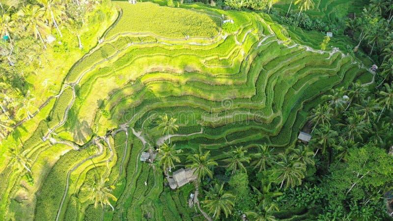 Paisaje de los campos de arroz y terraza de arroz Tegallalang cerca de Ubud de la isla Bali en Indonesia, en la suroeste de Asia imagen de archivo