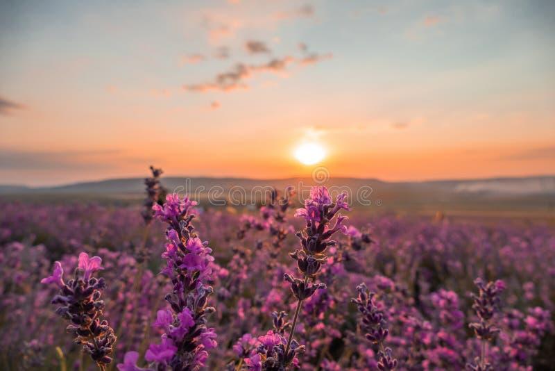 Paisaje de los campos de la lavanda en la puesta del sol fotografía de archivo libre de regalías