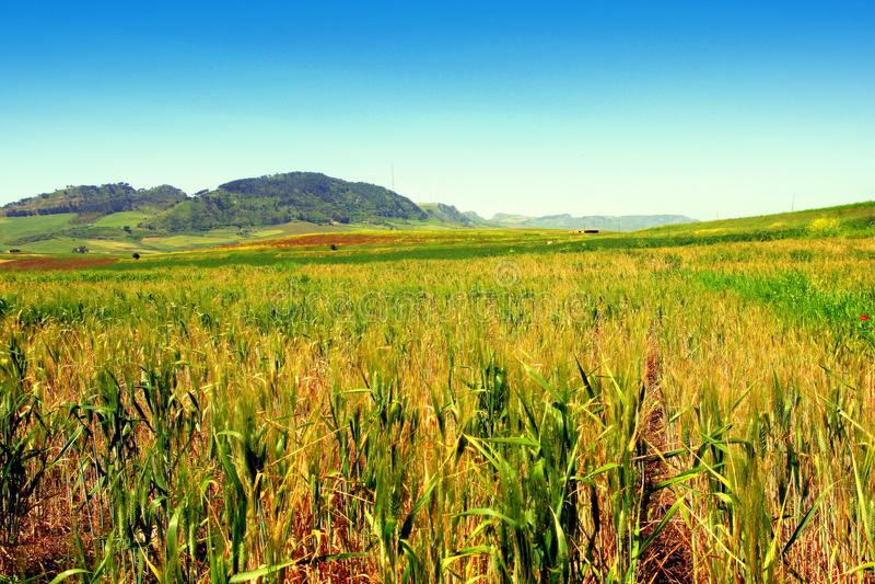 Paisaje de los campos de maíz del verano. Sicilia foto de archivo