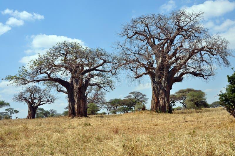 Paisaje de Savana con los baobabs imagen de archivo