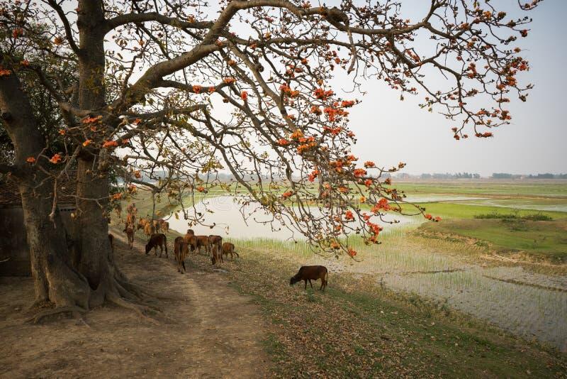 Paisaje de Vietnam El árbol de ceiba floreciente del Bombax o el algodón de seda rojo florece por el templo viejo con una manada  fotografía de archivo libre de regalías