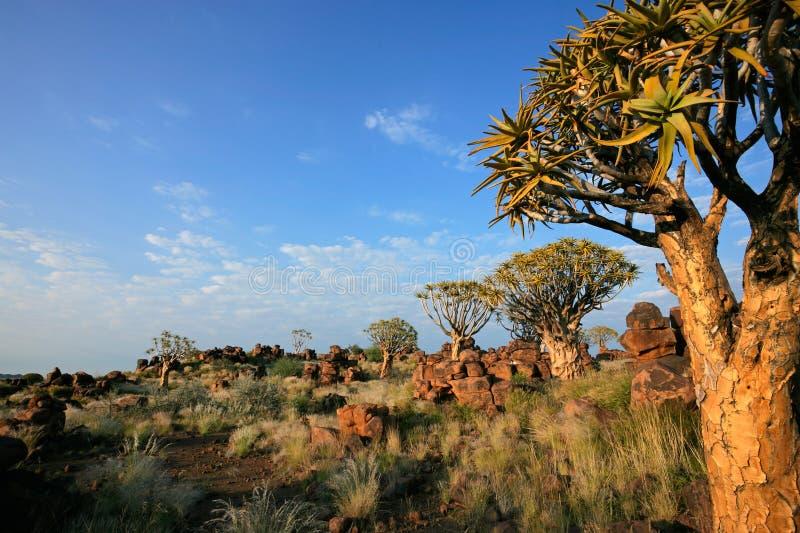 Paisaje del árbol de la aljaba, Namibia imagen de archivo libre de regalías